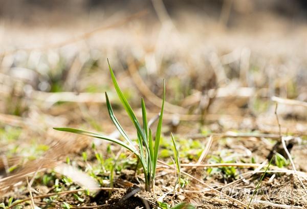 부추는 여러 번 수확할 수 있지만 품종에 따라 수확할 수 있는 횟수가 차이가 난다. 부추의 원산지는 중국, 한국, 일본을 비롯한 아시아권인데, 자생 부추에서 품종이 시작됐다. 사진은 밭산부추.