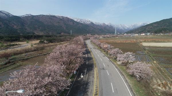 설악산 벚꽃터널길 여전히 화사한 벚꽃이 한창이다.
