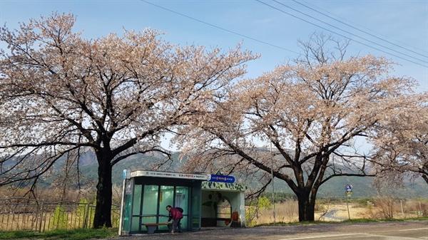 설악산 버스정류장 벚꽃이 화사하게 핀 설악산