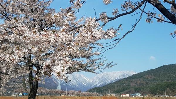 벚꽃이 화사한 설악산 눈내린 설악산 배경
