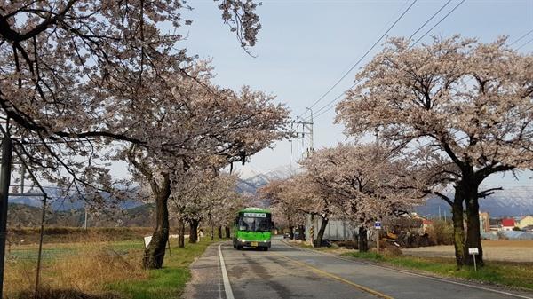 설악산  벚꽃이 활짝 핀 설악산 벚꽃터널