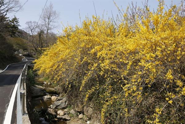 보성 쇠실마을 길목. 노란 개나리꽃이 활짝 피어 발걸음까지 화사하게 해준다.