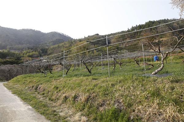 쇠실마을의 키위(참다래) 재배 단지. 키위는 마을사람들의 주머니 사정을 여유있게 해주는 고소득 작물이다.