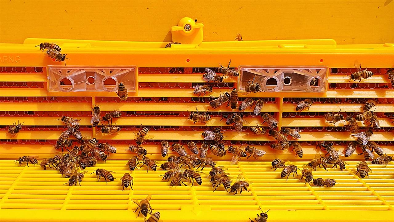 꿀벌 향해 날아간 벌들이 꿀과 꽃가루를 가져오면 이곳을 통해 드나들며 꿀은 안쪽 벌집에 저장하고 꽃가루는 아래 통에 분리돼 모이게 된다.
