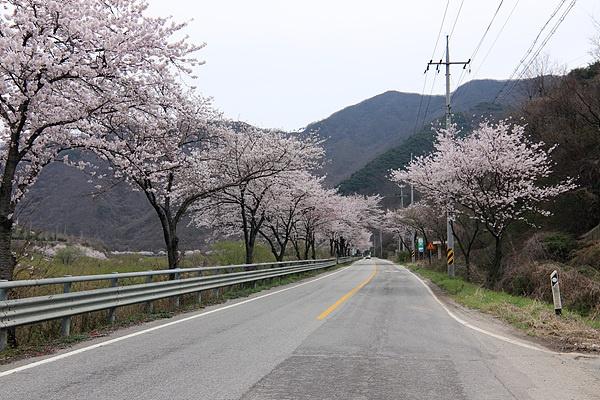회문산으로 가는 길가에는 벚꽃이 흐드러지게 피어 있었다.