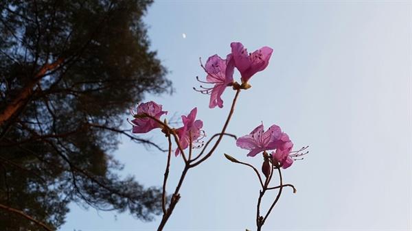 다른 곳은 벚꽃이 지고 있는데 봉화에선 이제사 진달래가 피었다
