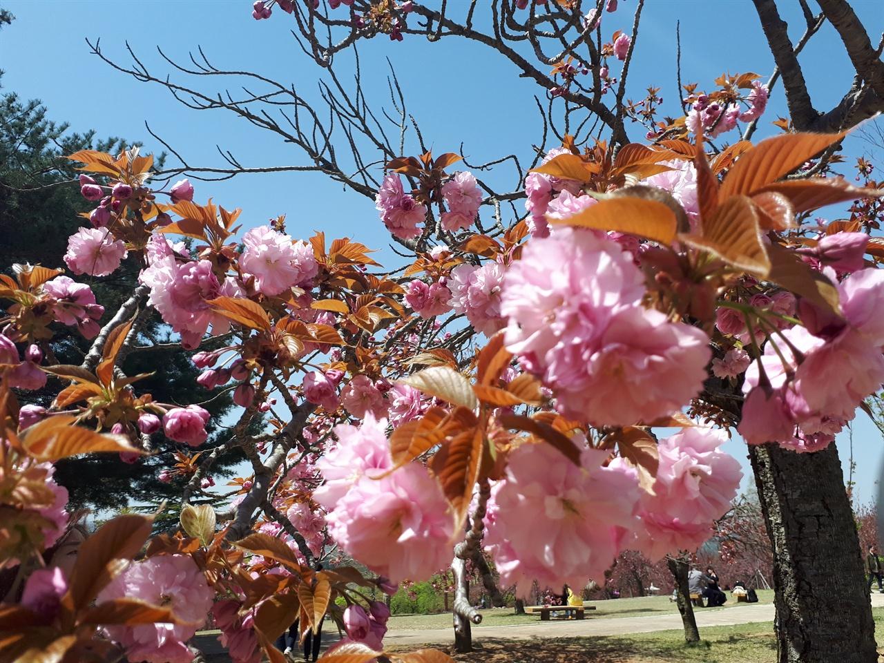 불국사 겹벚꽃