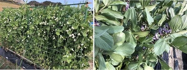 완두콩과 잠두입니다, 아직 잎이 파랗고, 꽃이 피며 자라고 있습니다. 두 콩은 비슷하면서 다릅니다.