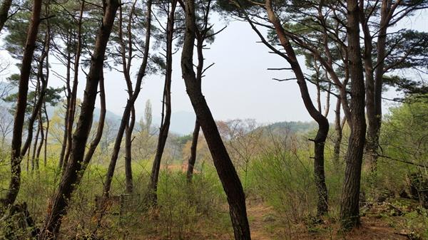 산막 주변에는 후리후리한 조선 소나무들이 모여 살고 있습니다.
