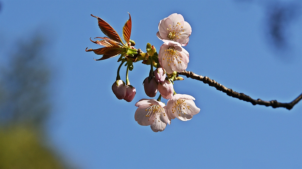 산벚꽃 묘목을 길러 심은 벚나무와 달리 자연 상태에서의 산벚은 잎과 꽃이 동시에 피고 나온다.