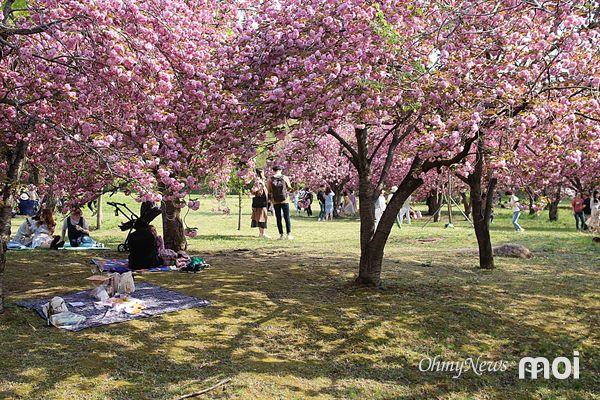 경주 불국사 겹벚꽃의  화려한 모습