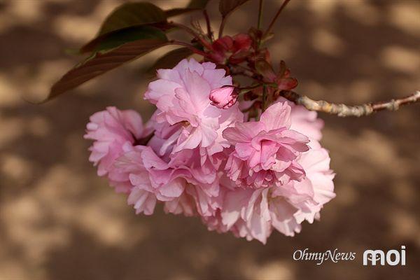 짙은 연분홍색을 뛴 경주 불국사 겹벚꽃 모습