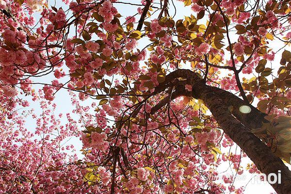 경주 불국사 겹벚꽃의 아름다운 모습