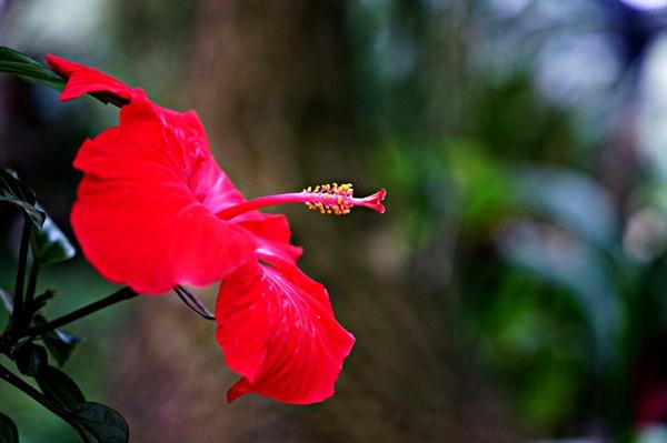 식물원의 하와이무궁화