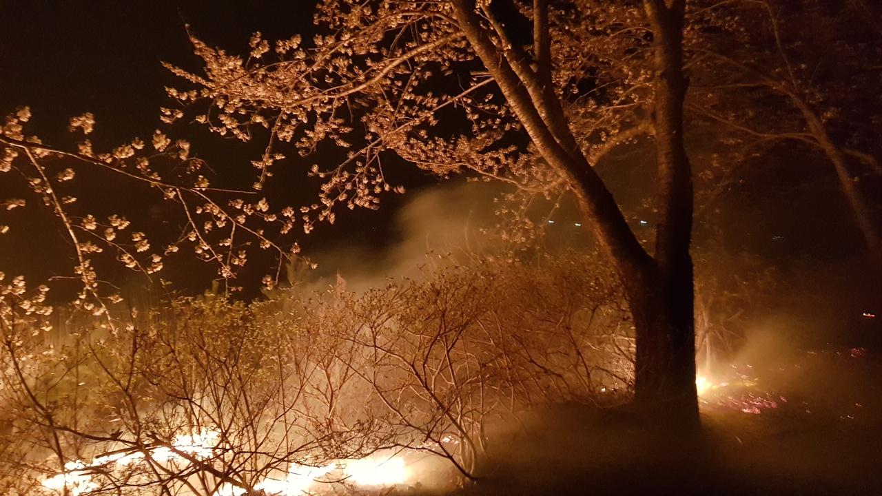 속초산불 영랑호 만개한 벚꽃나무가 타는 모습