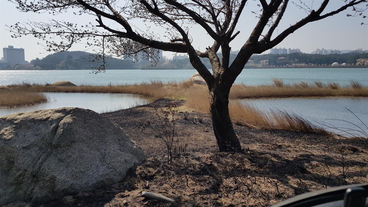 영랑호  산불로 숯덩이가 된 영랑호 벚나무