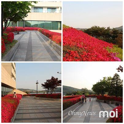 경주 보문관광단지 현대호텔 옥외 루프 가든 영산홍 모습