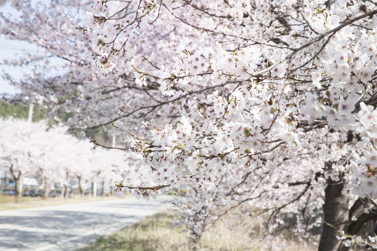 속리산 가는 길    말티재에서 속리산 법주사까지는 벚꽃명소이다. 인근지역보다 4-5도가량 낮아 벚꽃시기가 일주일 가량 늦다.