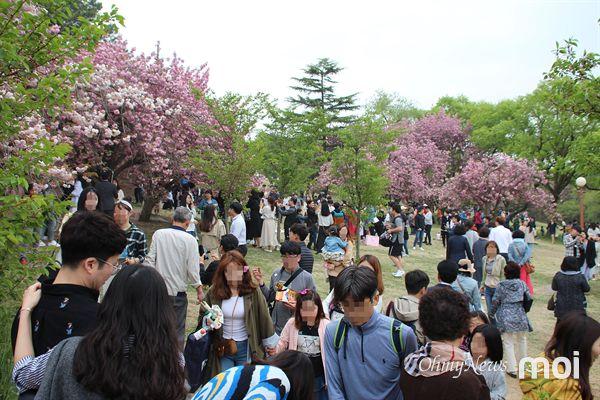 겹벚꽃 상춘객들로 붐비는 경주  불국사 겹벚꽃 성지, 상춘객들로 초만원인 모습