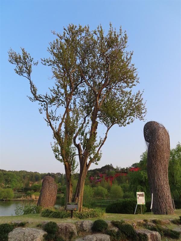 기막힌 모과나무 별량면 대동마을에서 300년을 살던 모과나무는 박람회 관계자가 마을 할머니의 목숨을 구한 것이 계기가 되어 정원으로 이사했다.