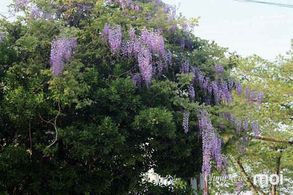 보라색 자수정을 온몸에 휘감은 듯한 등나무꽃 모습