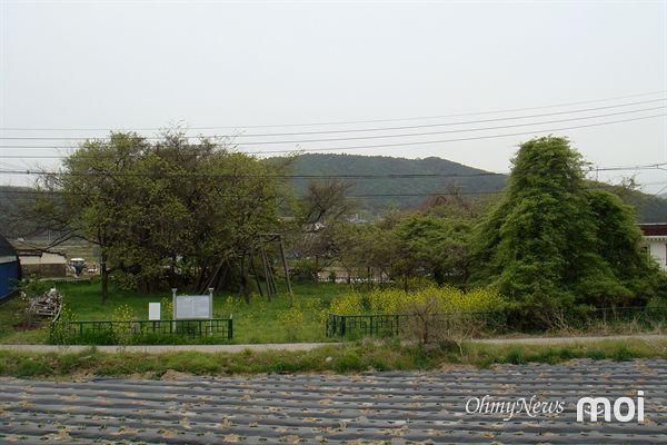 23일 찾아 본 경주시 현곡면 오류리에 있는 천연기념물 제89호로 지정된 오류리 등나무 모습.