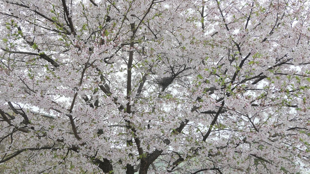 벚꽃 만개한 가지 위에서 알을 품고 있는 멧비둘기 .