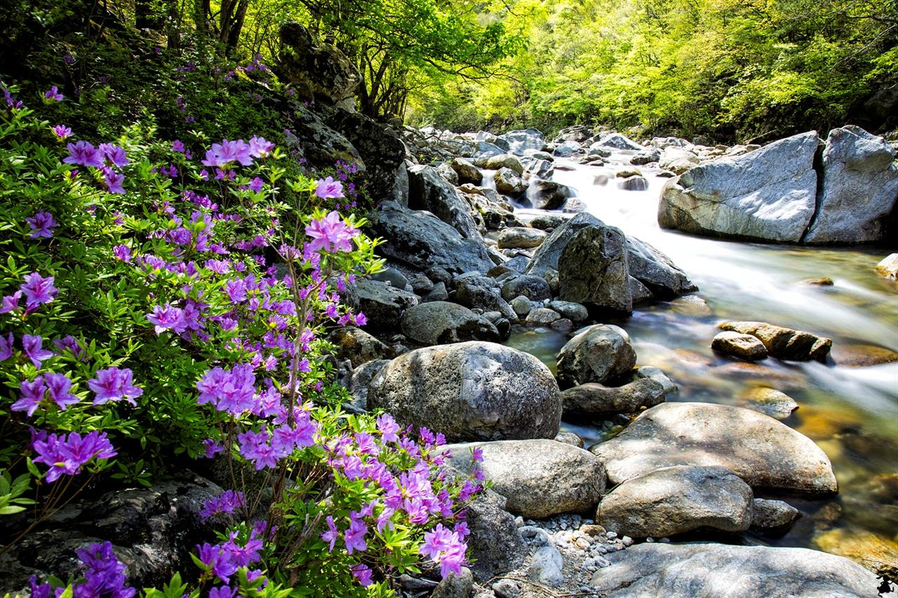 수달래와 암반 위의 계류 요란한 축제보단 꽃, 그보단 잔잔한 꽃길을 꿈꾼다면 계곡 따라 수달래 여행을 권하고 싶다.
