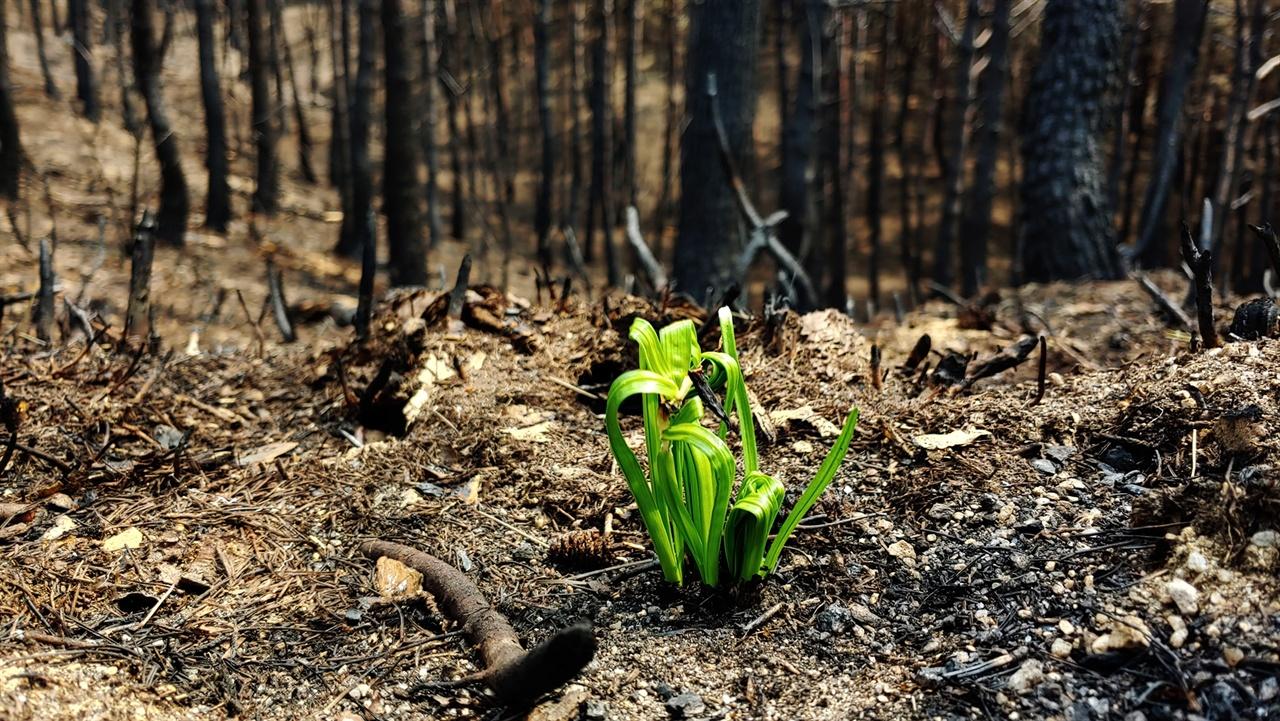 산부추 고성산불로 울창한 소나무 숲이 솔잎 하나 남기지 않고 까맣게 탔다. 그 속에서 만난 산부추는 2km 가량 능선을 돌아보는 길에서 1000여 개체나 됐다.