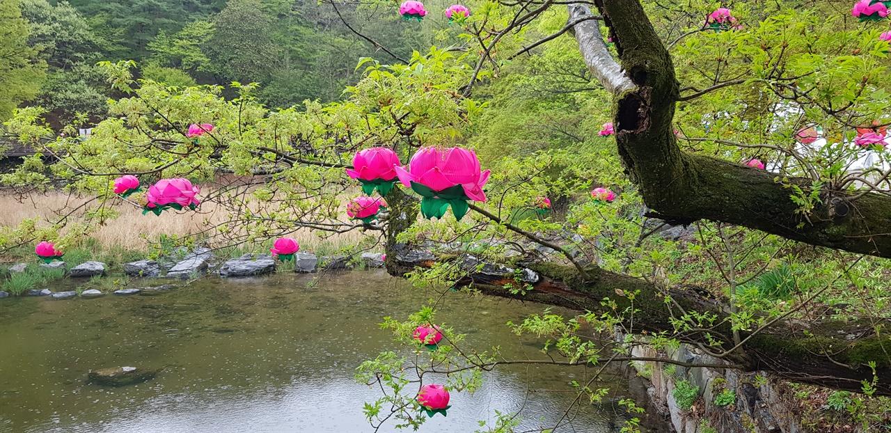 나무 위 연꽃   극락교 주위 나무 연둣빛 나뭇잎 사이로 연꽃이 활짝 피었다.
