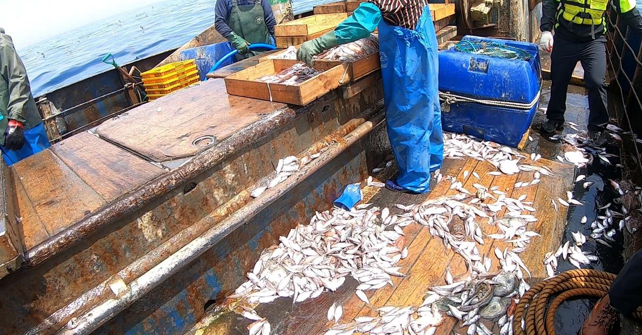 어선위에 혼획 된 어린 물고기 어선위에 혼획 된 어린물고기가 널브러져 있다.