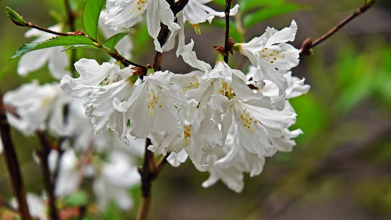 매화말발도리 주전골 용소폭포 주변은 봄철에 가장 다양하게 들꽃을 만날 수 있다. 매화말발도리를 본 유미정 씨와 친구는 꽃을 살펴보며 향기를 맡는 등 관심을 보였다.