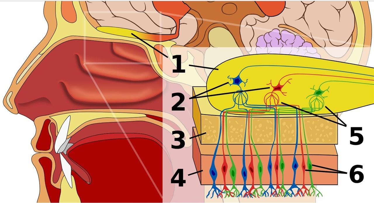 인간의 후각 구조. 1.후각 신경구  2.승모 세포 3.코 뼈 4. 상피 5.사구체 6. 후각 수용체. 후각 수용체에서 포착된 냄새가 후각 신경구를 통해 뇌로 전달됨으로써 냄새를 파악한다.