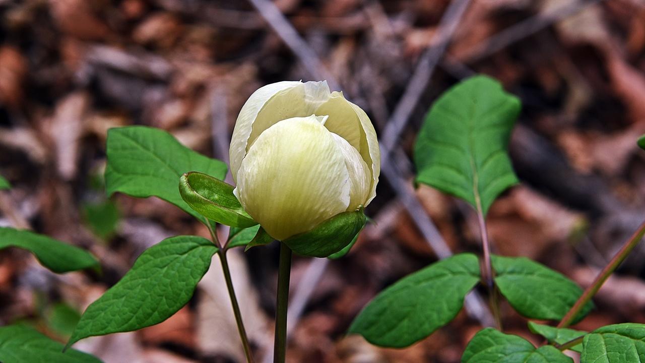 함박꽃(작약) 주전골 용소폭포 주변은 봄철에 가장 다양하게 들꽃을 만날 수 있다. 함박꽃을 본 유미정 씨는 당일 저녁, 매일 쓴다는 일기를 시의 형식을 빌려 쓰고 메시지로 보내왔다.