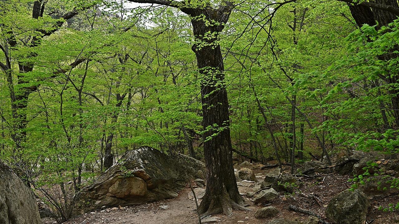주전골의 봄 주전골은 몇 개의 다리와 잘 정비된 길을 따라 편하게 걸을 수 있다. 그러나 원시의 숲과 천혜의 자연경관을 느끼기엔 부족함이 없다.