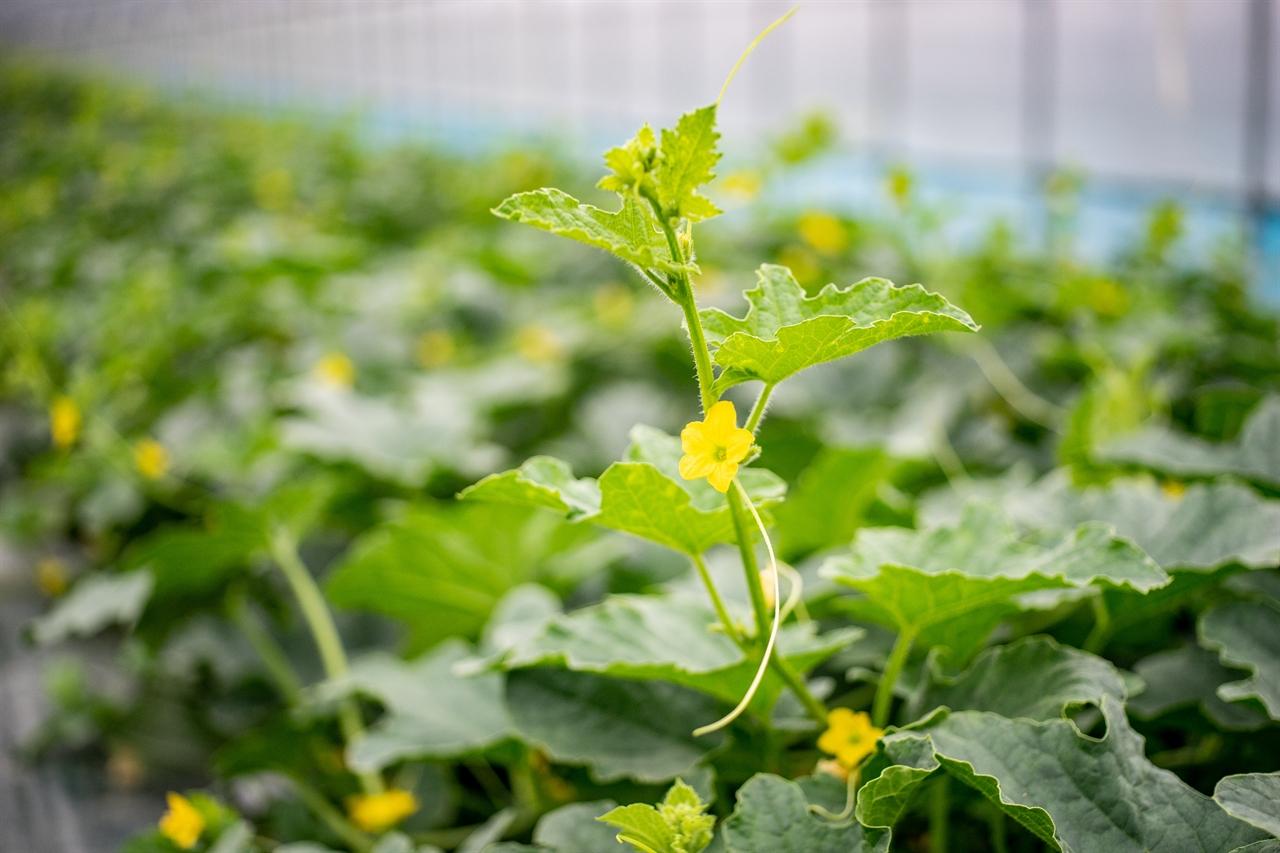 멜론의 꽃. 참외와 멜론은 박(拍)과의 식물이다. 박과 식물로는 호박, 오이도 있다. 꽃이 붙어 있는 상태에서는 참외나 멜론, 박을 구별하기 힘들 정도로 서로 비슷하다.