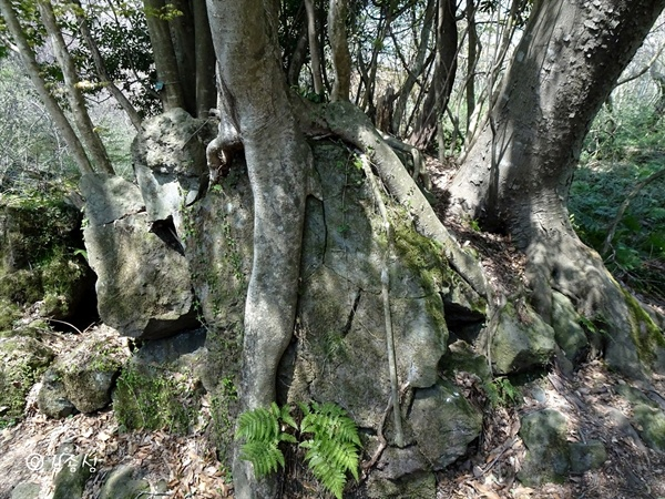 돌틈에 뿌리를 내리고 사는 나무들.