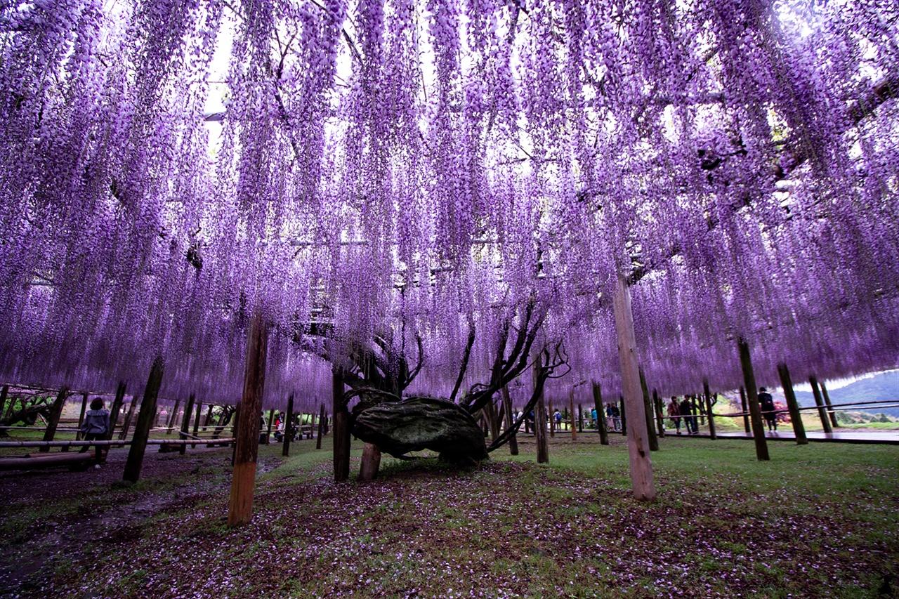 수령이 무려 100년 이상된 등나무 가와치 후지엔은 360도를 둘러봐도 여기도 저기도 '보라' 세상이다. 수령이 무려 100년 이상된 등나무도 있다.