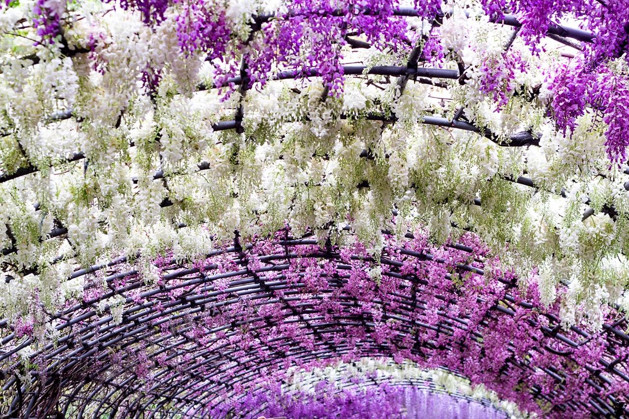 일본에서 가장 아름다운 등나무 시렁 4월 중순에서 5월 초순 등나무 꽃이 개화하며 이 시기에 22종류의 꽃이 핀다. 방문자 누구나 그 비경에 압도돼 입을 다물지 못한다.