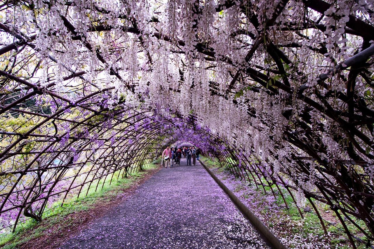 1,850평 시렁에 주렁주렁 매달린 등나무 꽃 해외에서 '세계 절경 10' 중 하나로 소개된 이후 SNS에서 폭발적인 인기를 끈 곳이 바로 가와치 후지엔이다.
