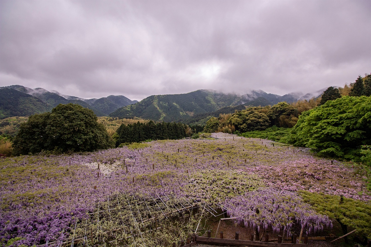1,850평의 등나무꽃이 만든 후지 카펫 언덕에서 바라본 등나무 밭은 또 다른 볼거리다. 일명 '후지 카펫'라 불린다.