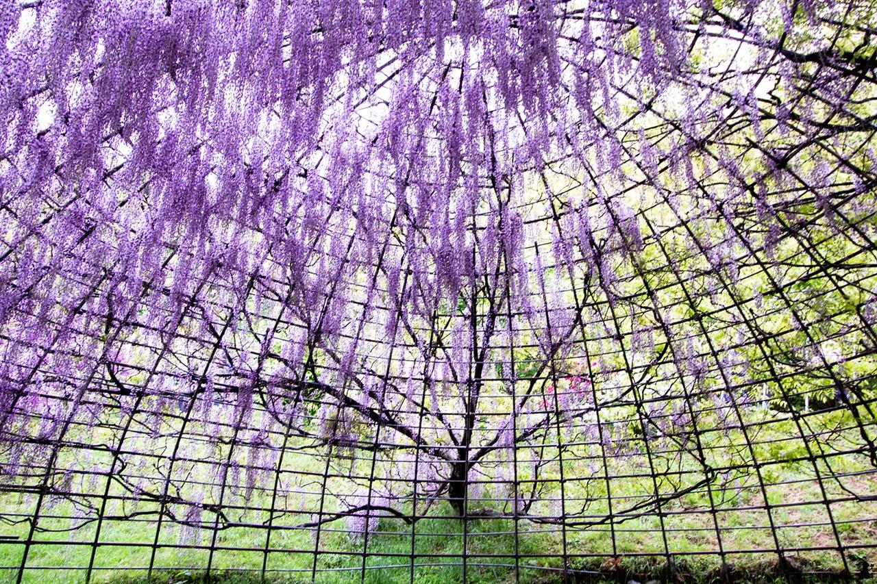 커다란 돔에 핀 등나무꽃 돔에 포도송이처럼 몽글몽글 달린 등나무꽃. 길게 늘어진 타입부터 봉긋하게 종처럼 꽃이 핀 타입 등 여러 가지다.
