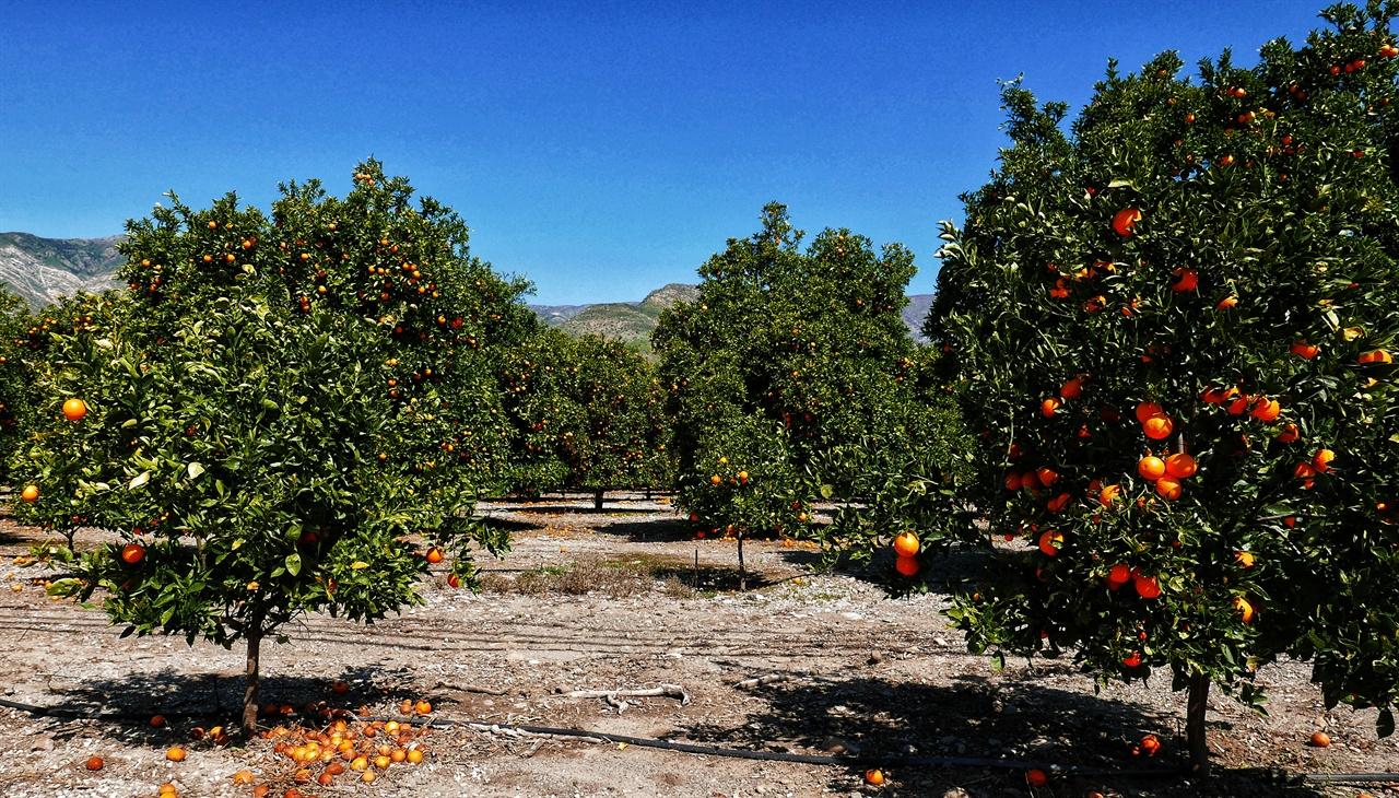 오렌지 마을이라고 말해도 무방할 정도로 마을 전체가 오렌지 밭이다.