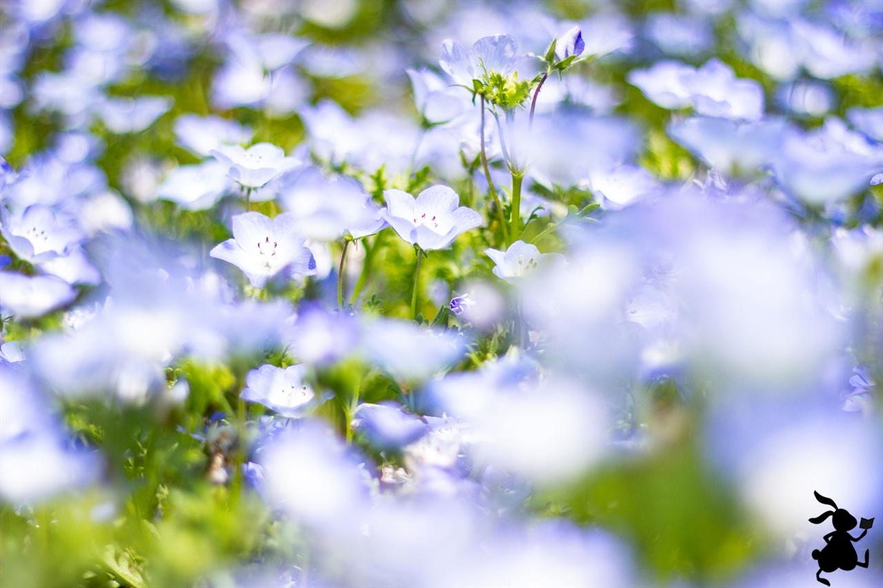 네모필라(Nemophila) 영어명은 베이비 블루아이(Baby Blue Eyes) 또는  인시그니스 블루(Insignis Blue)다.