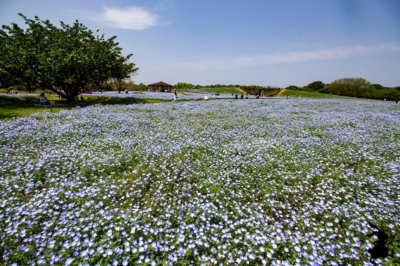 꽃의 언덕에 핀 네모필라 후쿠오카로 여행 중 네모필라가 아니었다면 우미노나카미치 해변공원의 매력을 몰랐을 것이다.