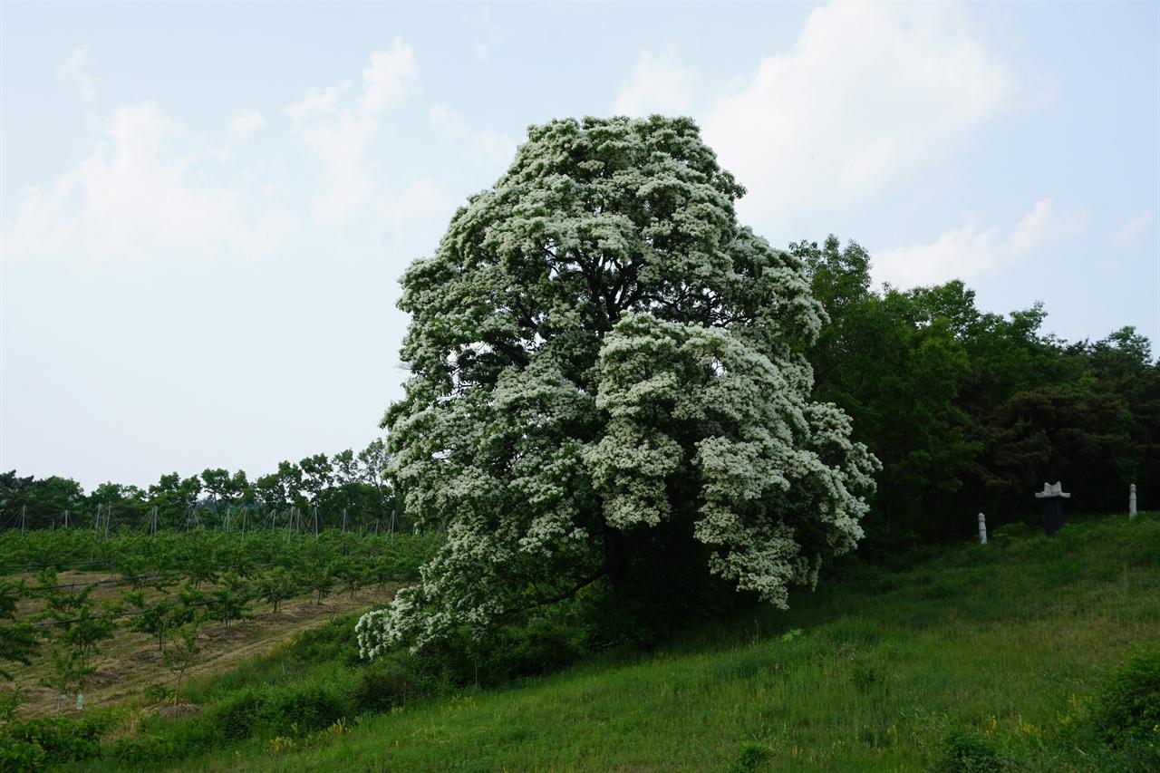 영천 용전리 이팝나무 영천 용전리 이팝나무 그 규모가 대단합니다.