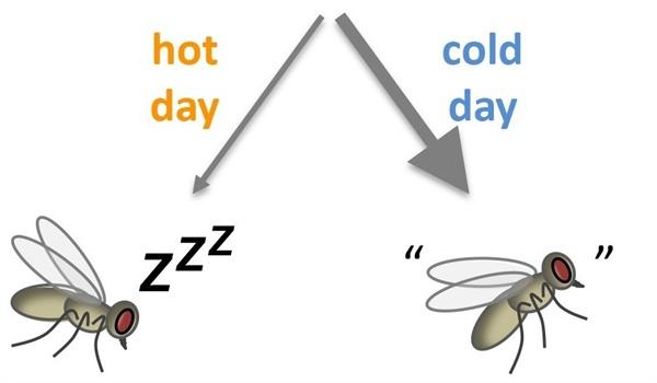 더운 날(hot day)에는 낮잠 억제 유전자가 거의 작동하지 않아(가는 화살표) 초파리가 쉽게 낮잠에 빠져드는 반면, 서늘한 날(cold day)에는 낮잠 억제 유전자가 왕성하게 활성화 해(굵은 화살표)가 낮잠을 자지 않고 먹이 활동 등에 나선다.