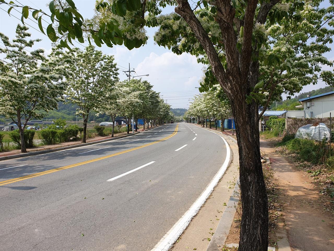 국립 5.18 민주묘지 진입로를 따라서 심어진 이팝나무