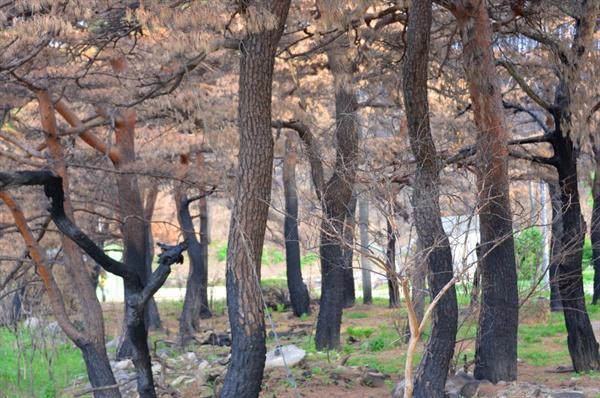 이번 강원도 산불로 가장 큰 피해를 입은 것은 숲속의 나무들이다. 산불로 타버린 수 백년 된 아름드리 소나무들(강원도 고성 원암리)