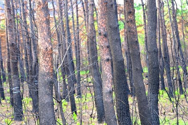 불에 탄 소나나무들